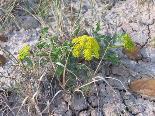 Wildflowers Badlands Unknown 2
