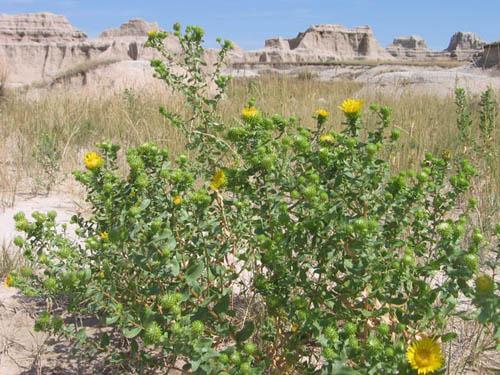 Wildflowers Badlands Unknown 5